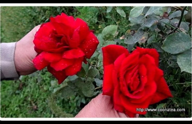 CooNaTea 夢幻玫瑰之新鮮玫瑰花