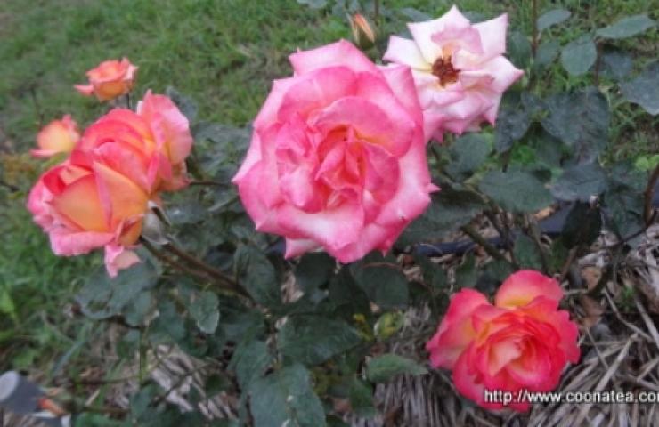 CooNaTea 夢幻玫瑰農場之新鮮玫瑰