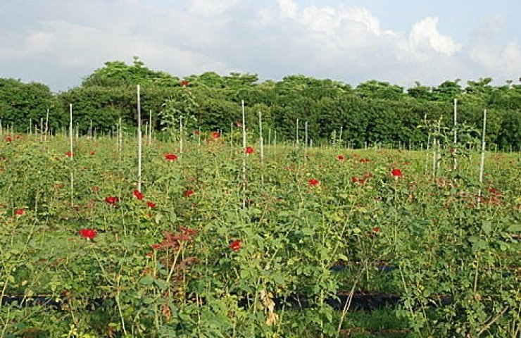 CooNaTea 夢幻玫瑰紅茶農場